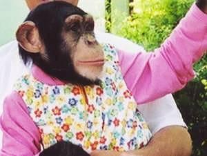 チンパンジー ももちゃん